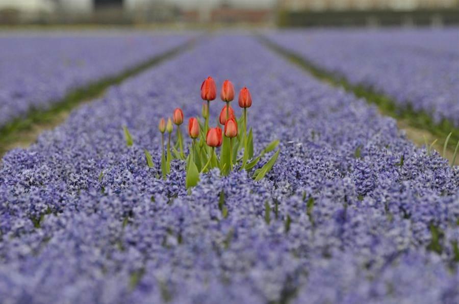 Tulipa vermelha lilas