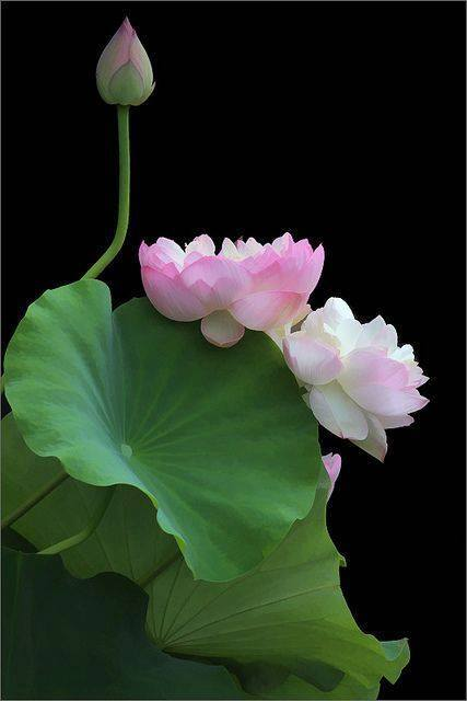 Flor do pantano