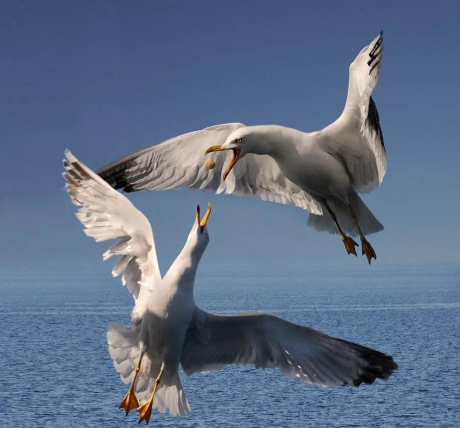 Duas gaivotas