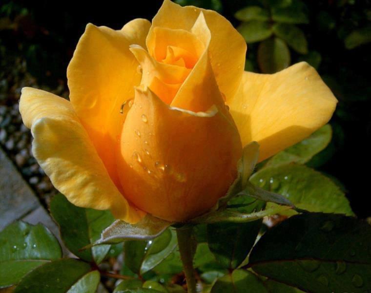 Botão de rosa amarela
