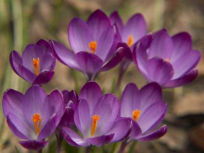 Tulipa miúda lilas