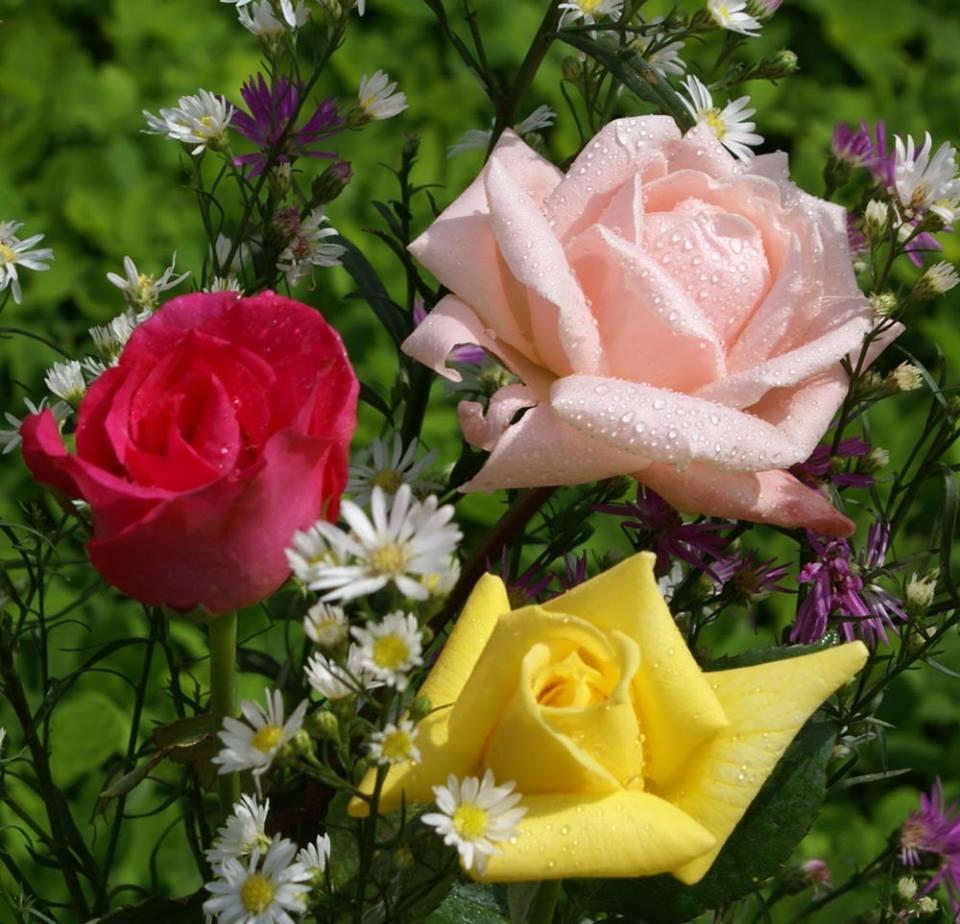 Rosas vermelhas amarela