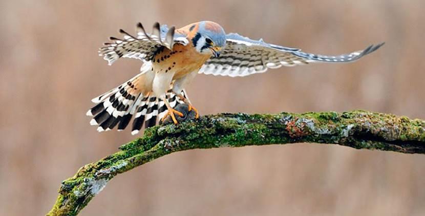 Aguia laranja