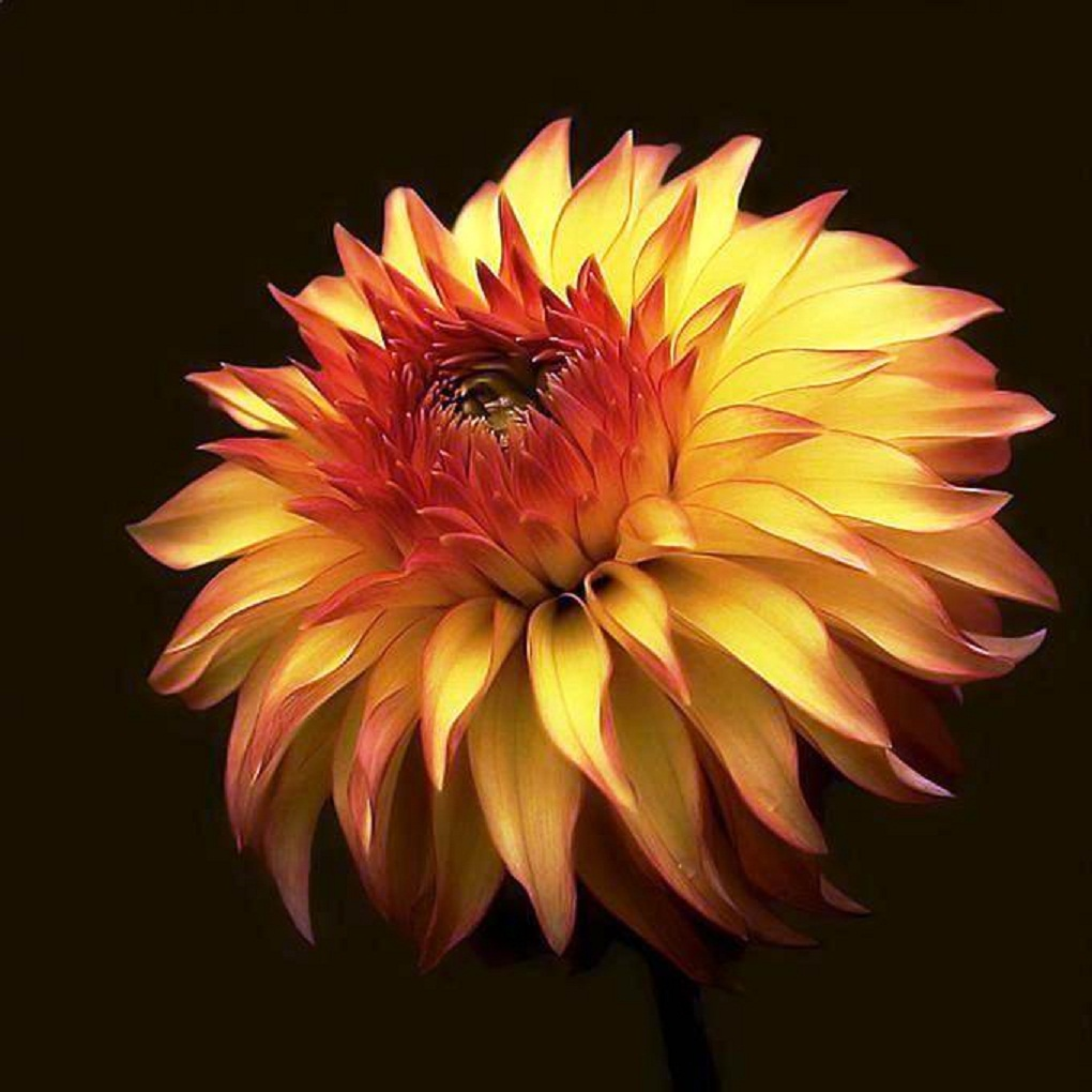 Dhalia amarela