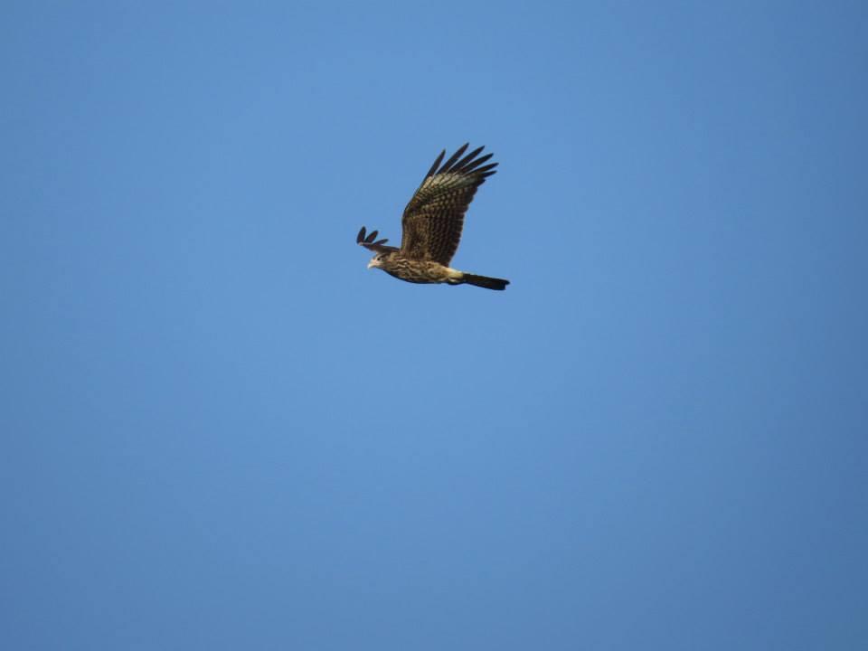 Águia voando no céu