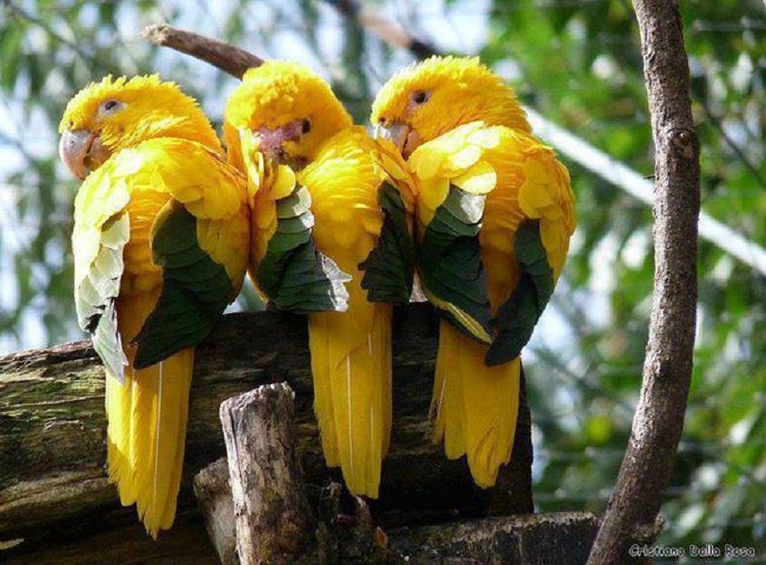 Araras amarelas