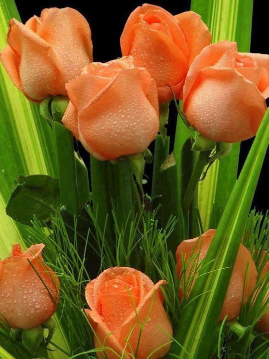 Botão de rosas laranja